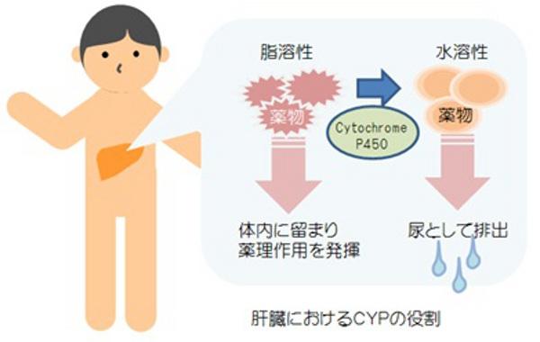 薬物代謝酵素