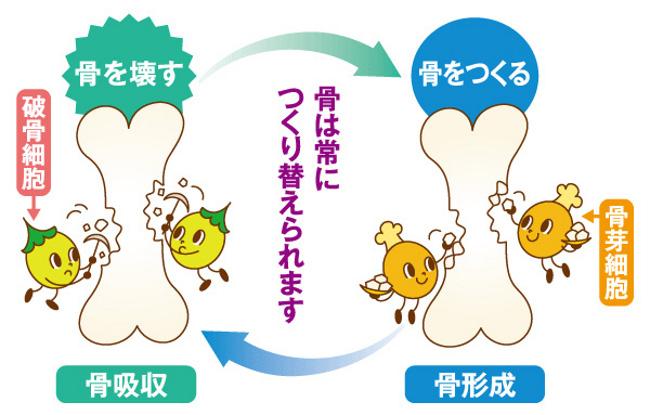 骨芽細胞と破骨細胞