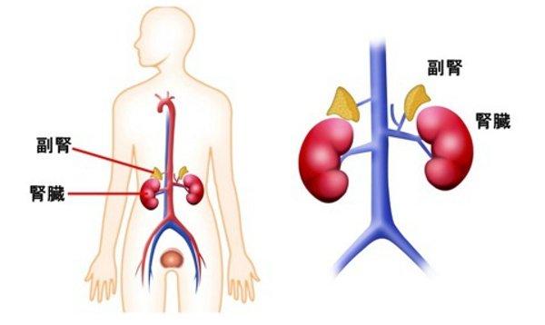 副腎皮質と体温の関係